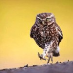 Marching Owl