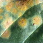 Coffee Rust (image