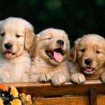 small_golden-retriever