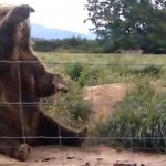 waving-bear
